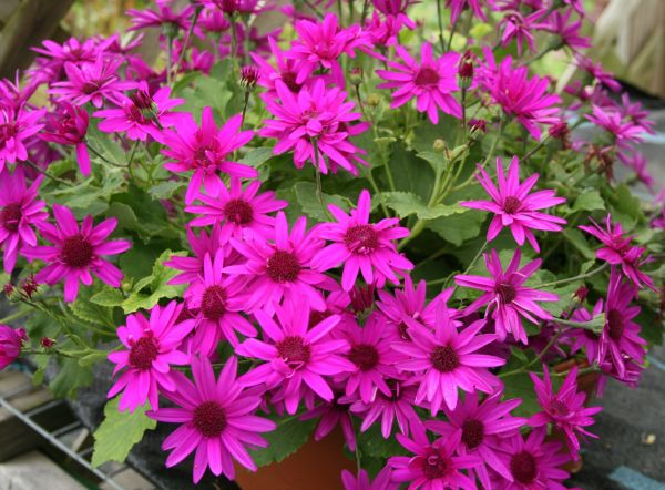 Plants annuals amazing flower farm there are certain tender perennials that we call annuals here in new england these are perennials that are not hardy in our area mightylinksfo