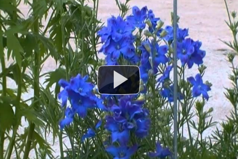 Video: Delphinium, one of many perennials