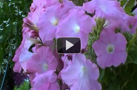 Video: Hanging wave petunias