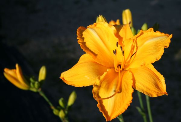 Daylily Mary's Gold