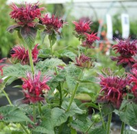 Bee Balm with, what else?, bumblebees