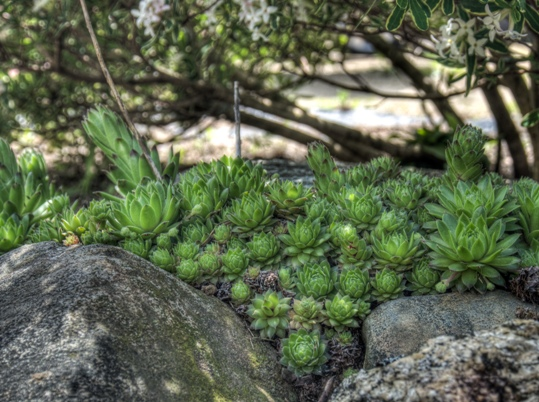 Low growing sedum amid rocks.