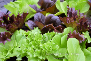 Salanova Restaurant-Mix lettuce