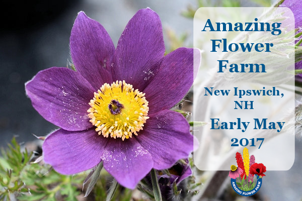 Amazing Flower Farm Newsletter Early May 2017