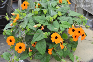 Thunbergia orange beauty