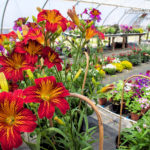 Salpiglossis in the greenhouse