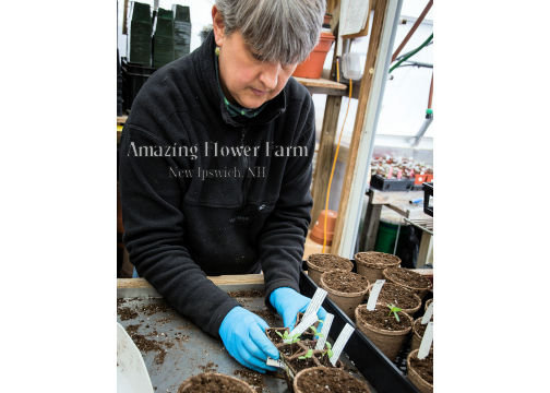 "Kate is moving seedlings into their final 4-1/2"" peat pots for strong, well-started pepper plants. We're using organic Vermont Compost soil, and there is no transplant shock because of the peat pots. You'll get these later, of course, when it's nice and warm outside! Or else protect them in our Wall-O-Waters."