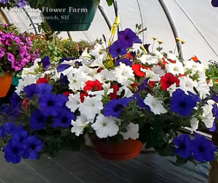 Red white and blue hanging basket