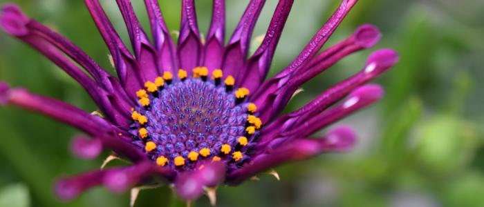 Osteospermum Spider Purple