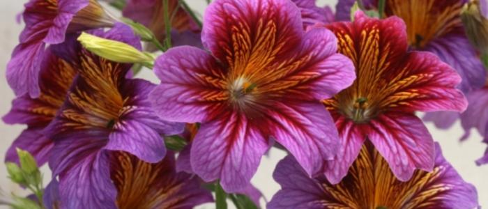 Salpiglossis Royal Purple Bi-Color